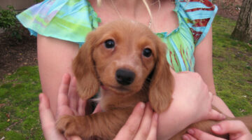 Dachshund Dog Characteristics: Temperament, Grooming & Health Issues A Wiener Dog Is Likely To Experience