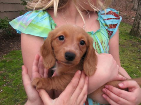 Doxie dog puppy - Dachshund dog puppy