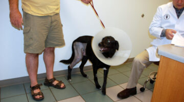 TPLO Surgery For Dogs That Have A Torn ACL