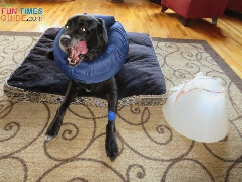 A Better E-Collar For Dogs: This Inflatable Dog Collar Works Great! | The Dog Guide