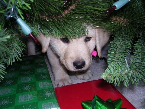 frightened-puppy-under-christmas-tree