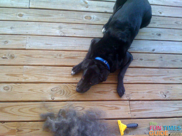 My dog next to the flyaway undercoat fur that I removed from his coat using the Furminator for dogs.
