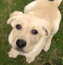 golden-lab-puppy-by-marco900.jpg