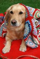 golden-retriever-in-blanket-by-bethan.jpg