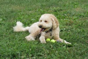 This is a Labrador Retriever and Poodle mix breed dog that is called a Labradoodle hybrid dog