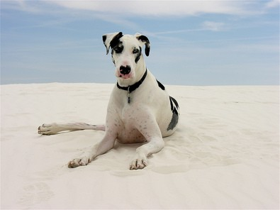 great-dane-dog-on-white-sand-by-Laertes.jpg