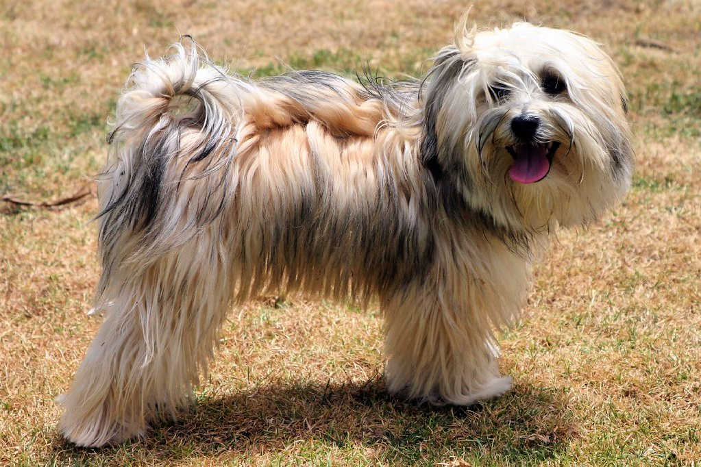 The Havanese is one of the top 19 Hypoallergenic dog breeds for people with pet allergies.