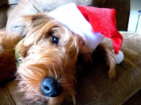 Here's how to find super cute santa hats for dogs.