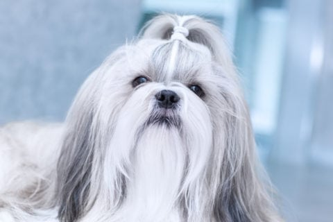 The classic Shih Tzu top knot with no hair bow.