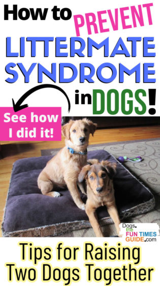 How to prevent Littermate Syndrome in puppies - Tips for raising two dogs together
