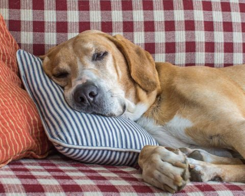 How to revive old dog pillows.