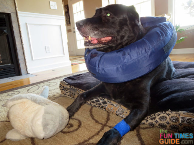 See how to wrap a dog hot spot yourself to make it heal faster.