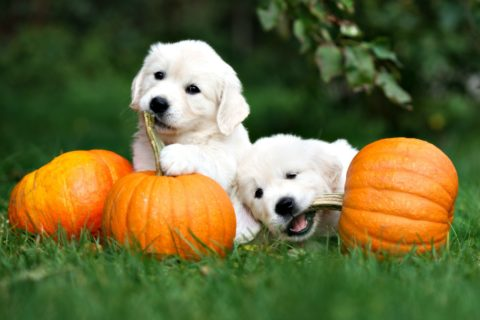 Do not let your dog eat the shell of a pumpkin, the pumpkin stem, pumpkin leaves, or pumpkin seeds. Only canned pumpkin (not pumpkin pie filling) is safe for dogs.