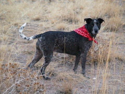 A hunting dog wearing a red bandanna. photo by charkesw on Flickr