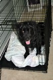 Destin in his kennel crate with the door open... a simple way to reward success in the first stages of crate training.