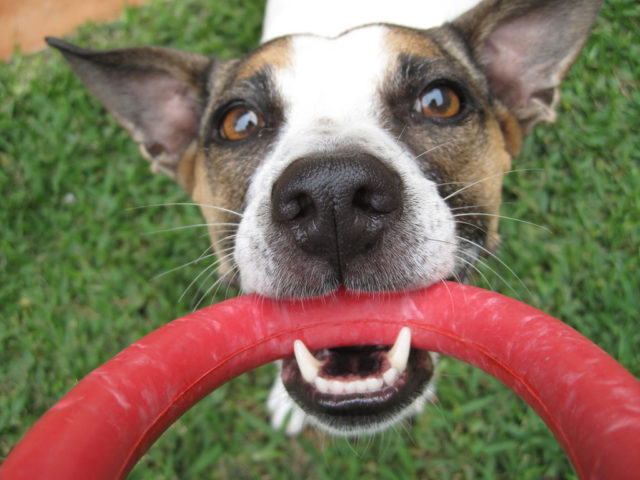 what to do when your dog chews things she shouldn u0027t outdoors the