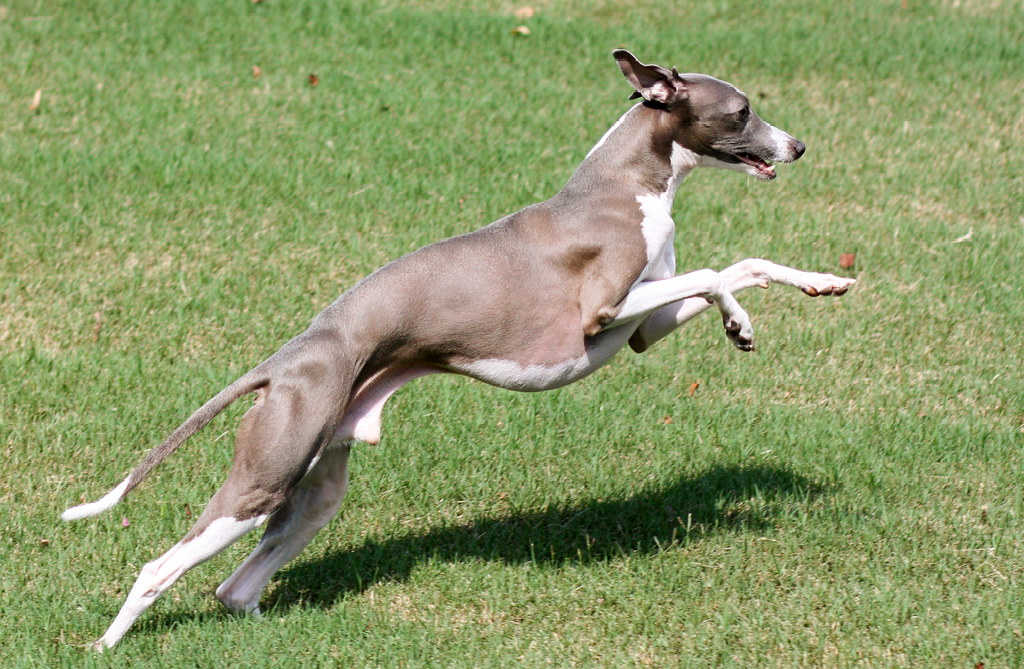 The Italian Greyhound is one of the top 19 Hypoallergenic dog breeds!