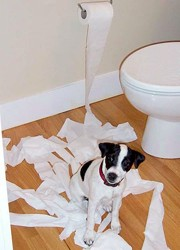 Jack Russell Terrier playing with the toilet paper.