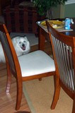 Jersey eying my plate at the dinner table, and Destin hiding out under my chair at the table.