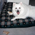 Jersey chewing his favorite rawhide bones on his favorite double-layered doggie pillow.