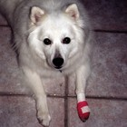 Jersey with his pink cast from licking a 'hot spot'.