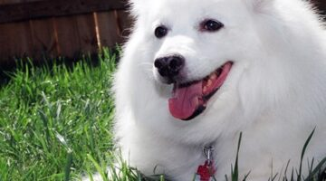 Cute Dog Pictures: Our American Eskimo Dog Growing Up