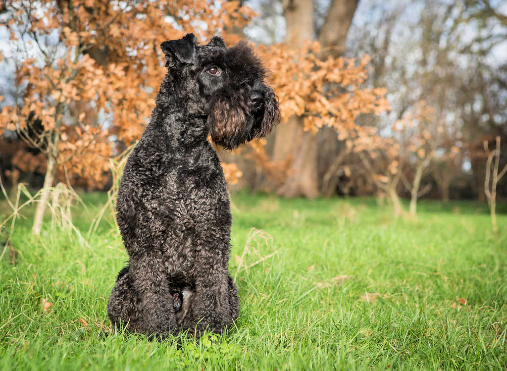 The Kerry Blue Terrier is one of the top 19 Hypoallergenic dog breeds.