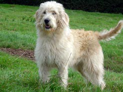 A labradoodle dog - part labrador retriever, part poodle!