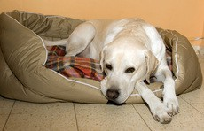 labrador-retriever-dog-bed-by-heyjude.jpg