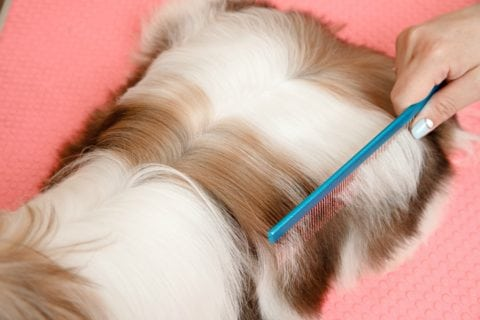 Using a fine tooth comb to do one last check for mats in Shih Tzu hair
