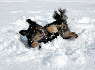 making-a-dog-snow-angel.jpg