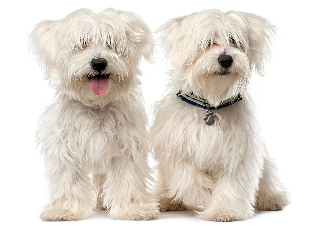 The Maltese is one of the top 19 Hypoallergenic dog breeds for people with pet allergies.