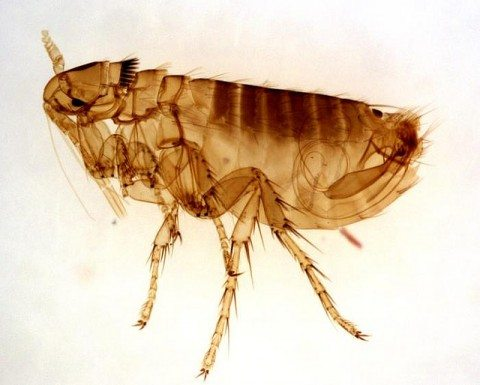 natural-flea-remedies