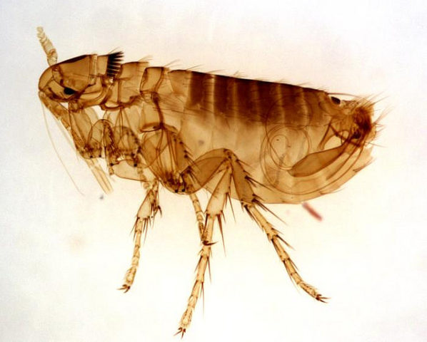 All Natural Flea Treatment For House