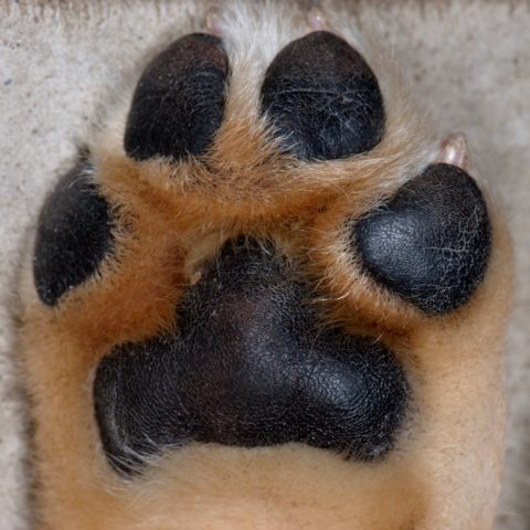 A neatly groomed dog paw