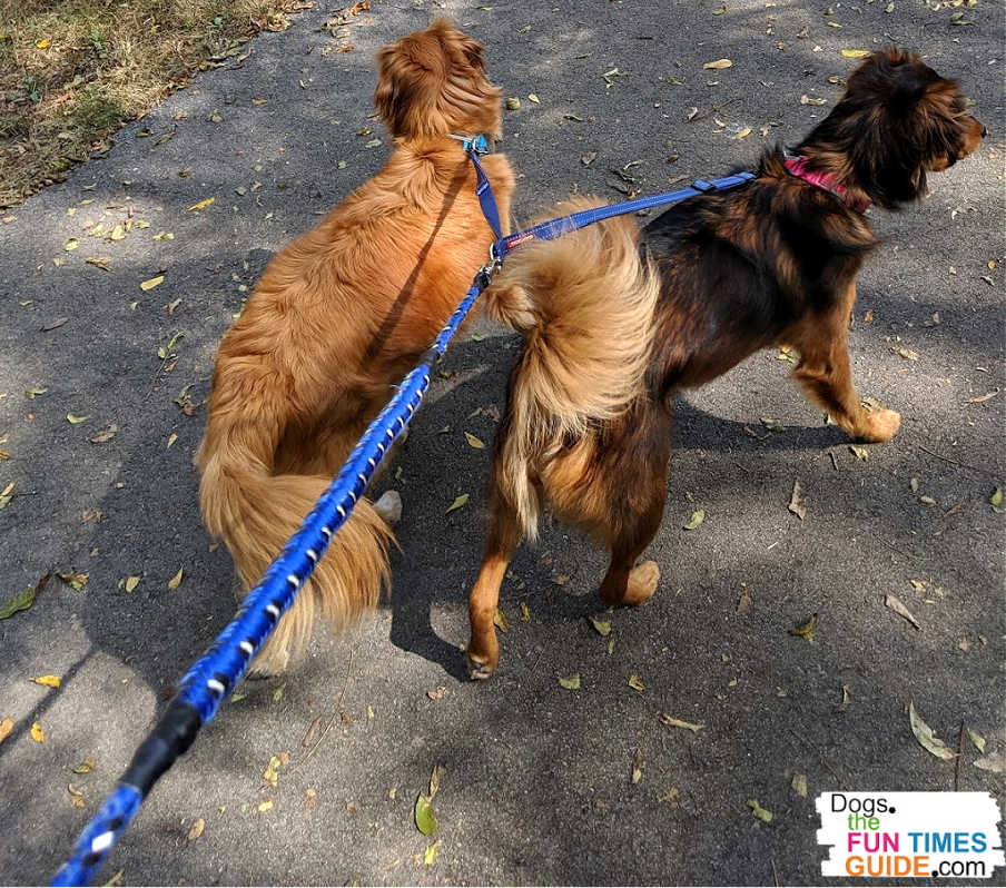 It's easy to walk two dogs at the same time when you use a split-leash (aka a two dog leash with a coupler).