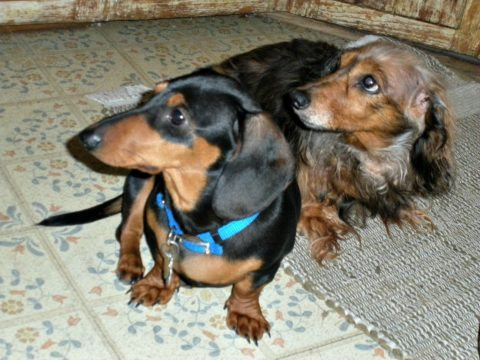 dachshund puppy and senior dachshund