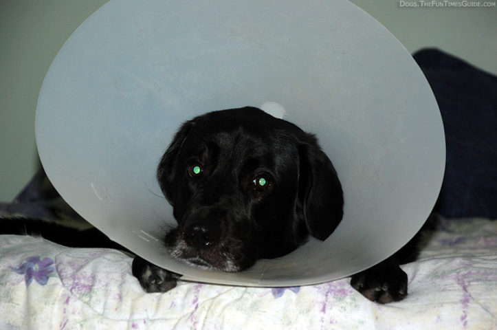 Dog ECollar Is It A Necessity Are There Any Alternatives The - Dog portrait photography shows how they hate wearing the cone of shame