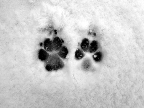 Wet dog paw prints in the snow