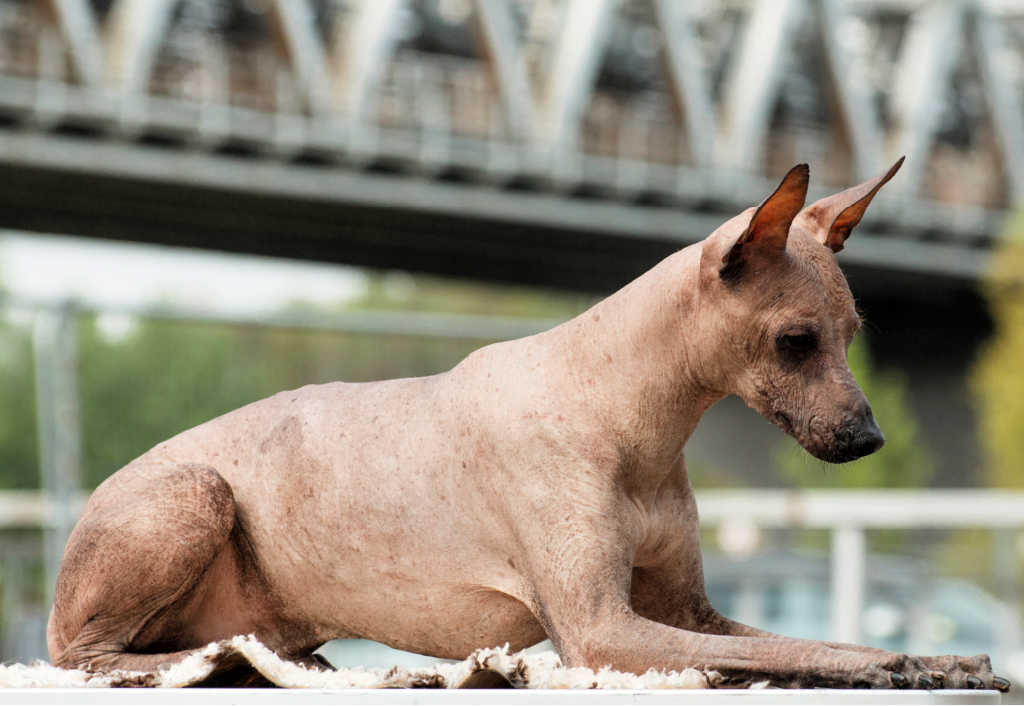 The Peruvian Inca Orchid is one of the top 19 Hypoallergenic dog breeds!