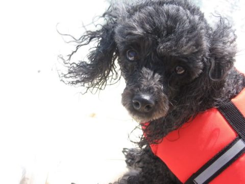 A Poodle dog wearing a lifejacket.