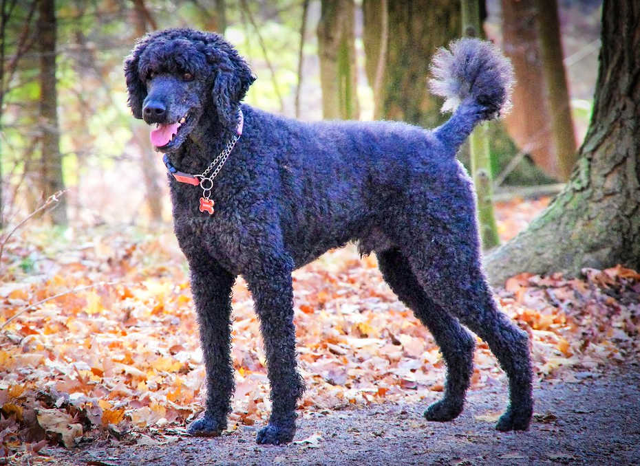 The Poodle is one of the top 19 Hypoallergenic dog breeds for people with pet allergies.