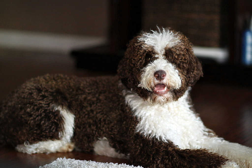 The Portuguese Water Dog is one of the top 19 Hypoallergenic dog breeds for people with pet allergies.