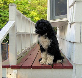 portuguese-water-dog-by-yea-i-knit.jpg