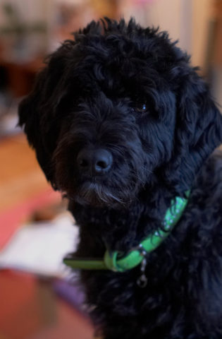 portuguese water dogs 18 little known facts about this