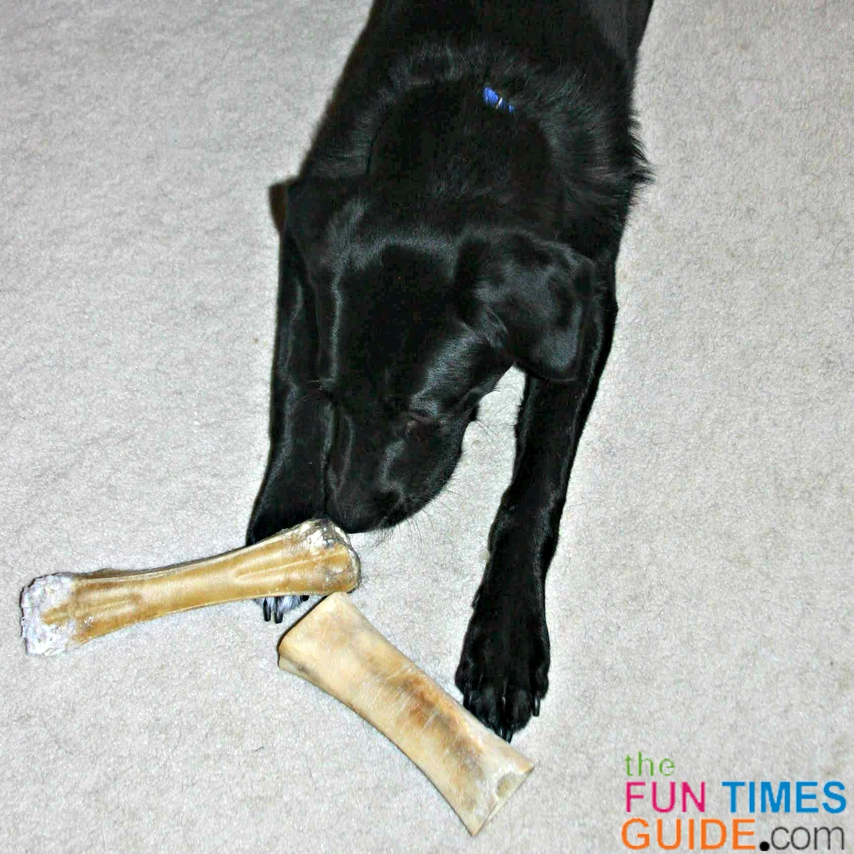 My dog trying to decide between a pressed rawhide bone and a real bone from the butcher.