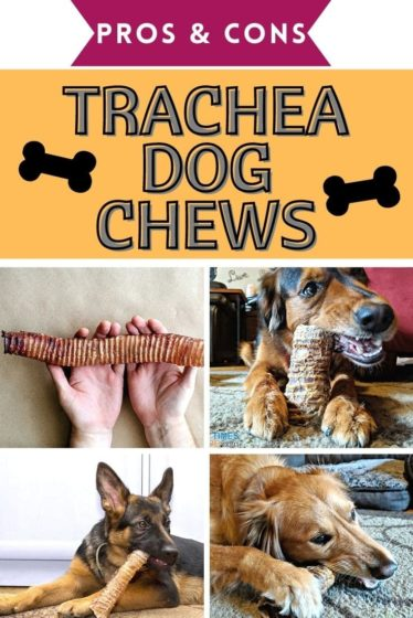 See the pros & cons of giving your dog beef trachea chews. Are trachea dog chews safe? How long do trachea chews last? Do they smell? What size is best? We answer all of your questions about trachea chews for dogs!