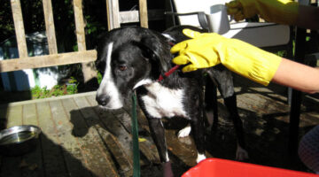 Wear rubber gloves when removing dog skunk odor from your dog! photo by Piddleville on Flickr