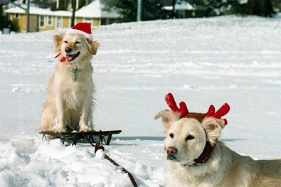 rudolph-dog-pulling-santa-dog-on-sleigh.jpg