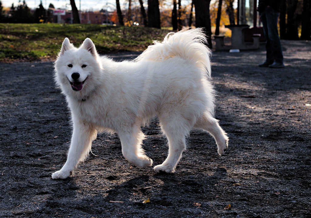 Believe it or not, the Samoyed is one of the top 19 Hypoallergenic dog breeds!